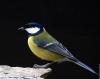 pupuce37 - éleveur d'oiseau Birdrama