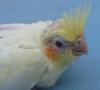 lopsy2 - éleveur d'oiseau Birdrama