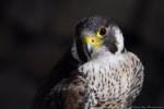 Faucon Turkey - Faucon pèlerin Mâle (2 ans)