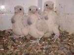 Faucon Mimi,Blanca y Duquesa - Faucon pèlerin Femelle (2 mois)