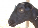 Chèvre Stella - Femelle (4 ans)