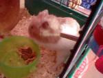 Hamster Poldy - Mâle (7 mois)