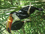 Oiseau Toucan Toco -  (Vient de naître)