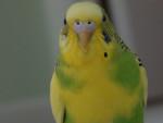 Oiseau Buddy - Mâle (2 ans)