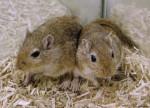 Souris baya et fanny - Femelle (6 mois)