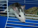 Souris Mimi la ratoune! -  (Vient de naître)
