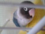 Perroquet Lori -   (5 mois)
