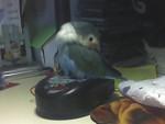 Perroquet Pollo -  Mâle (3 ans)