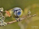 Mésange mesange bleue -   (Vient de naître)