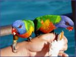Perroquet loriquet sur ma main -  Femelle (Autre)