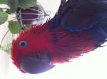 Perroquet RUBIS -  Femelle (2 ans)