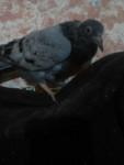 Pigeon Morrito -  Femelle (1 mois)