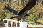 Corbeau Crow -   (Vient de naître)