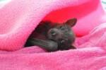 Chauve-souris Lolo -  Femelle (1 mois)
