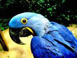 chu - Perroquet ara bleu (8 ans)