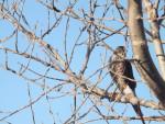 Hawk - Faucon pèlerin Mâle (8 ans)